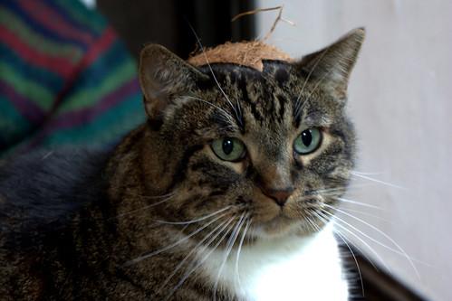 warrior kitty in coconut helm