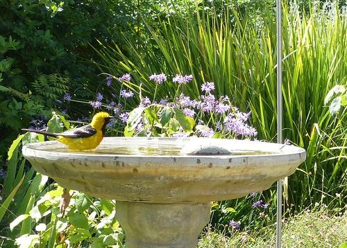 Hooded Oriole at the bird bath by Mike's Birds