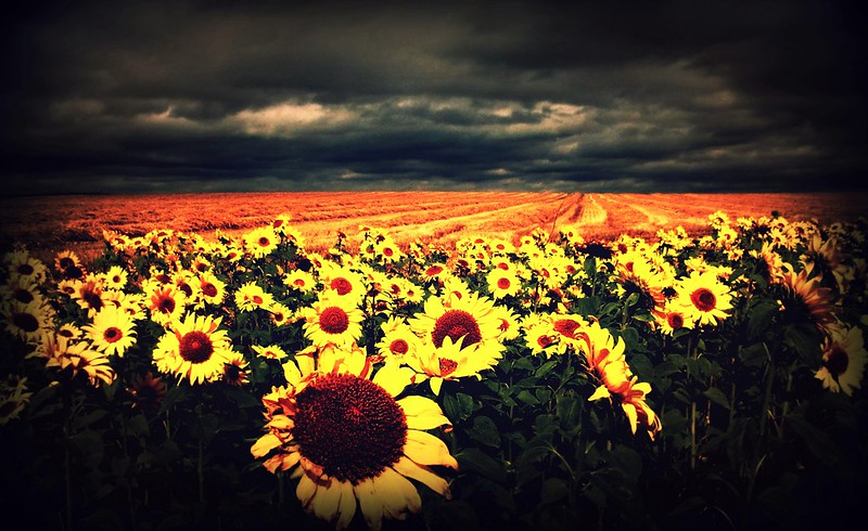 Field of sunflowers, Elie, Fife ( 2 pics)