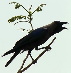 Crow calls