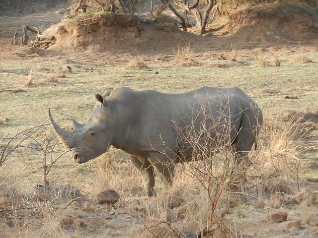 Rhino, Ivory Tree Game Lodge