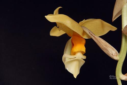 orchid orchidaceae stanhopea fragrant orquidea stanhopeagraveolens leonverde cll130910e pefumada ochss906401 paulancalmo ph6658191013