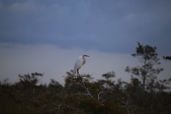 GREAT EGRET #2