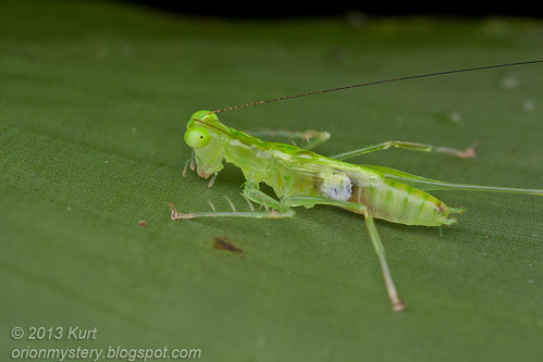 Male Katydid IMG_3212 copy