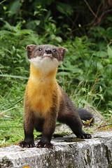 在台灣生命大百科,黃喉貂也有專屬網頁喔!(攝影:陳惇聿;台灣生命大百科提供)