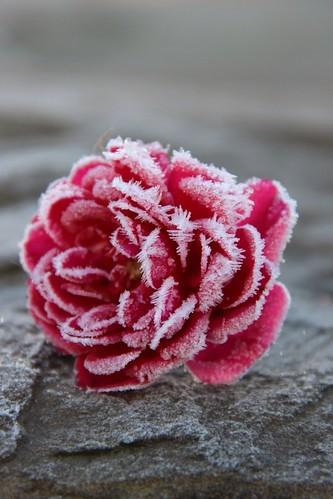 131127 Rose