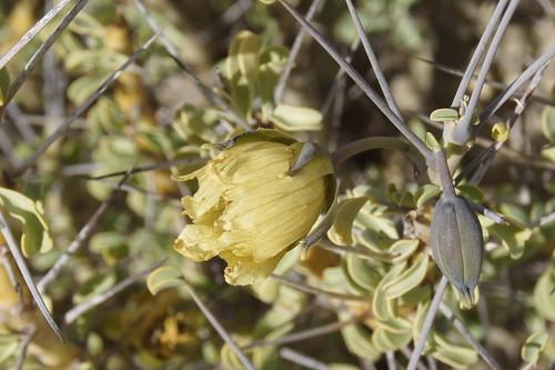 Monsonia spinosa