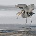 Heron Eating Fish_42747.jpg