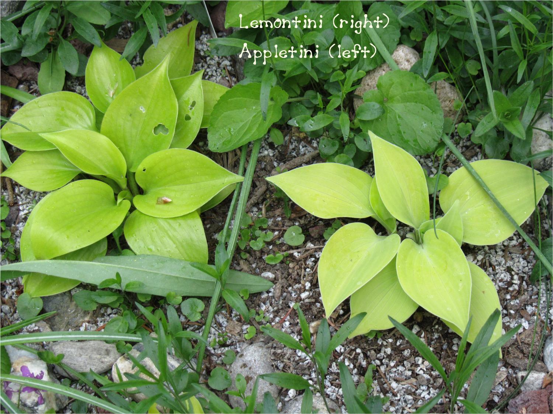 Lemontini 5-19-13 (135)