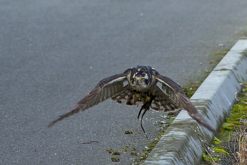Northern Goshawk Taking Flight