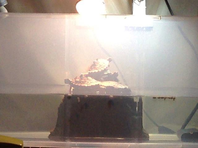 2014/3/2 ワモンチズガメ 3匹仲良くバスキン中(こっそり遠目で観察&撮影)