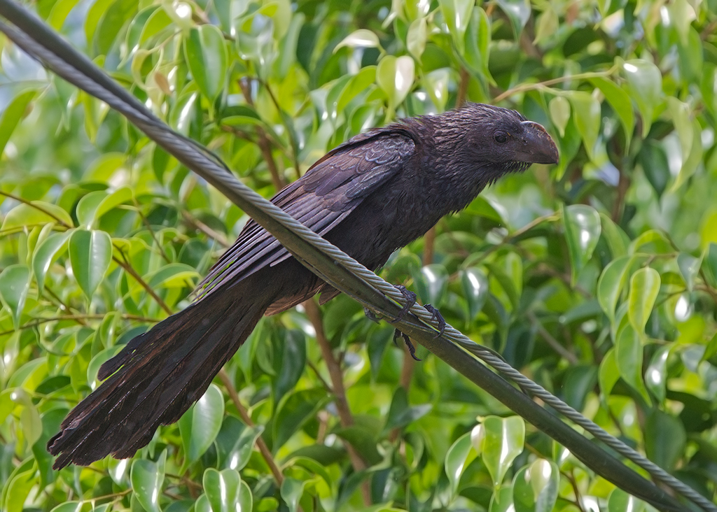 Smooth Billed Ani 2014-01-25
