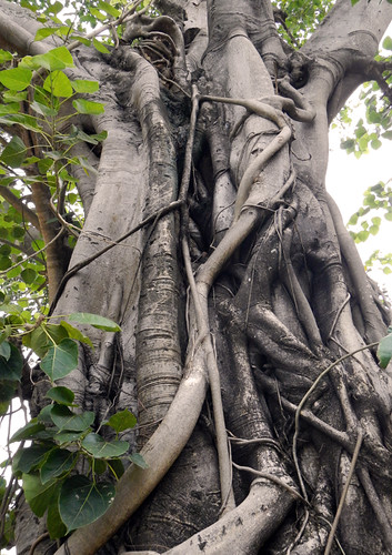Banyan or Strangler Fig (Ficus) in Hoi An