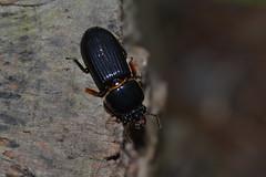 Patent-leather Beetle (Odontotaenius disjunctus)