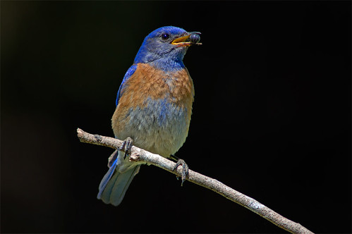 Bluebird with Roly Poly