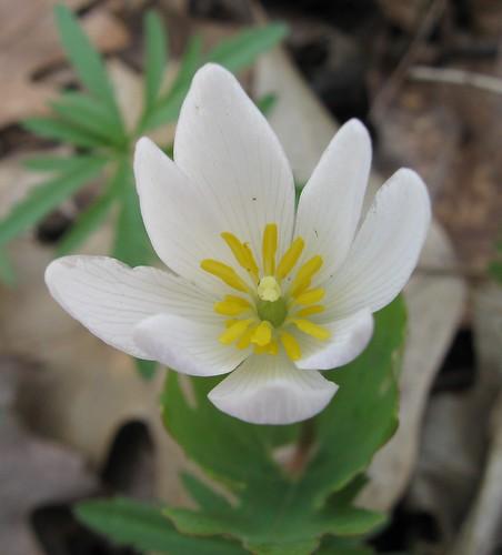 Bloodroot (Sanguinaria canadensis), UW Arboretum, 5/3/14