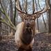 Bull Elk Munching