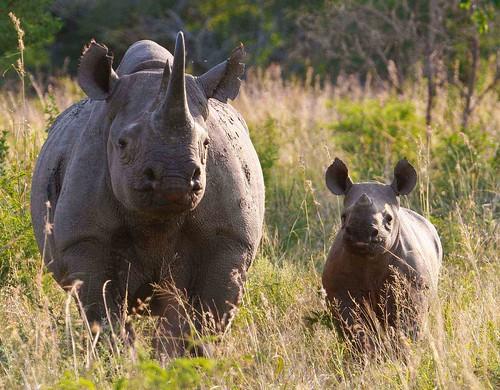 白犀牛。(來源:WWF)