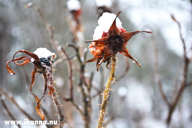 Rosehip in Winter II