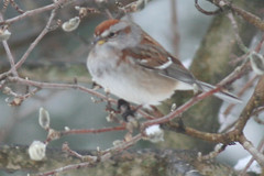 chipping sparrow IMG_1496a