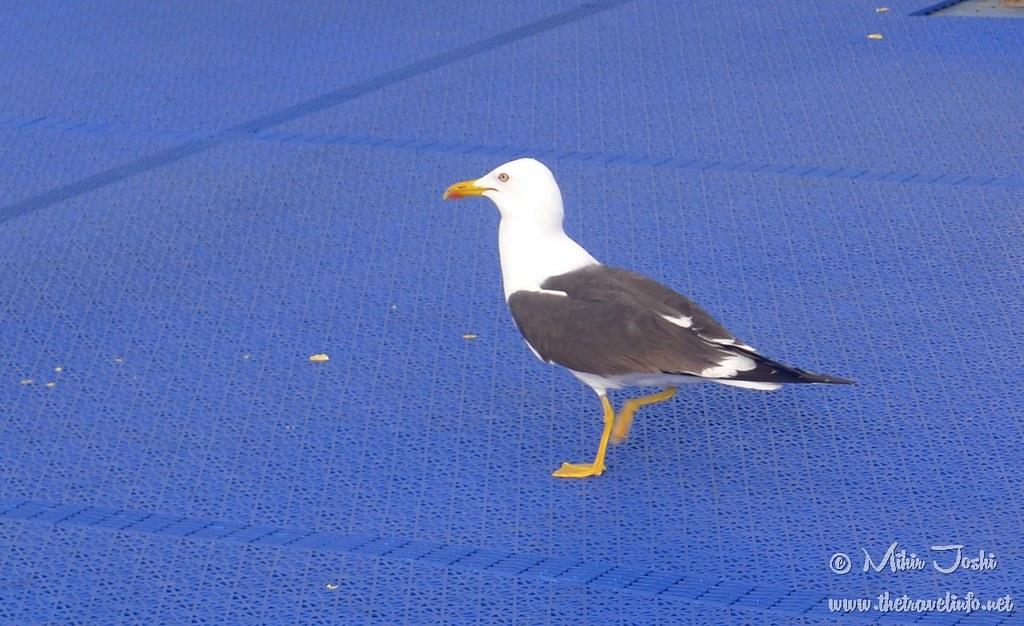 Lesser Black-backed Gull [Gaviota de Lomo Negro Menor]