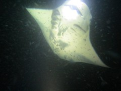 animal(1.0), manta ray(1.0), fish(1.0), marine biology(1.0), skate(1.0), underwater(1.0), cartilaginous fish(1.0),