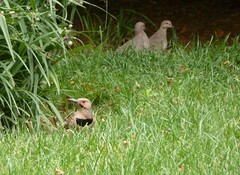Flicker in foreground; mourning doves in background