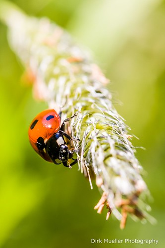 Ladybug by Dirk Mueller Photography