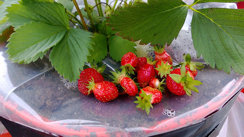 Strawberry Picking containers