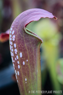 "Sarracenia minor var. okefenokeensis x ""Green Monster"" - 1"