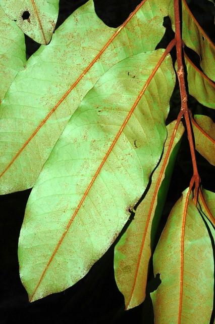 Aglaia meridionalis DSC_0787 (3)