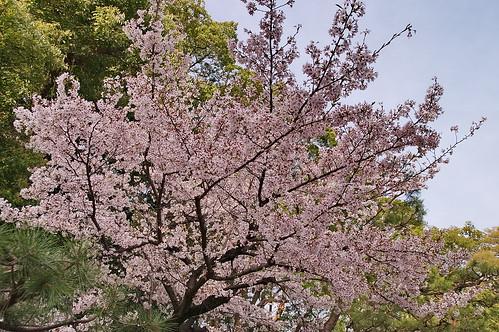 【写真】2013 桜 : 御香宮神社/2019-10-26/IMGP9743