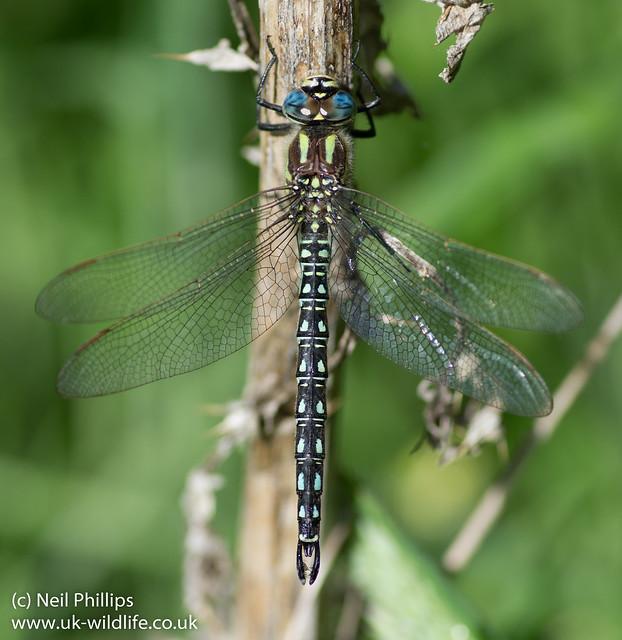 Hairy dragonfly Brachytron pratense-3