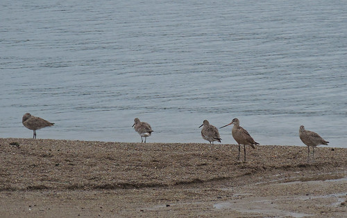 4 Willet and Marbled Godwit