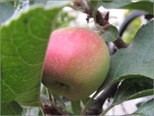 Ripening apple