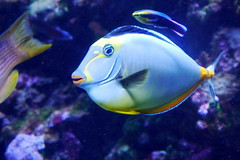 coral reef, animal, fish, coral reef fish, marine biology, underwater, reef, blue, aquarium,