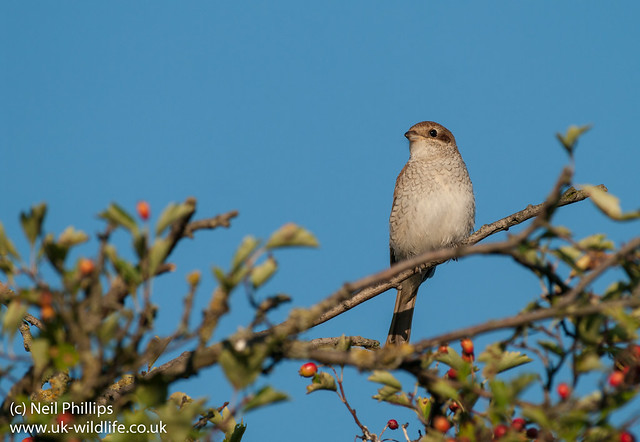 red backed shrike-3