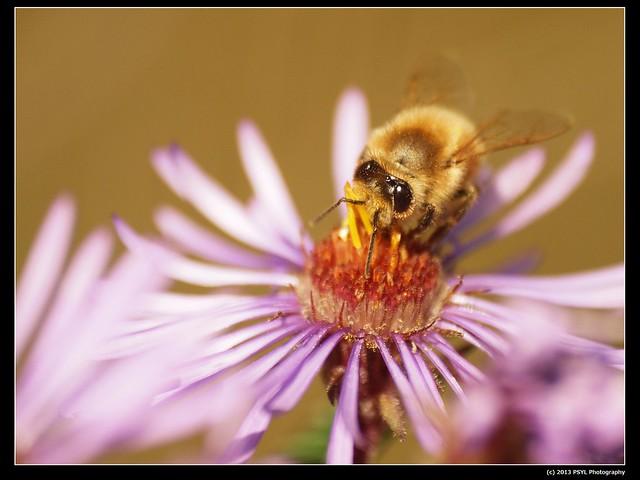 European honey bee (Apis mellifera)
