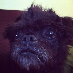 dog breed, animal, dog, pet, bolonka, lhasa apso, affenpinscher, carnivoran,