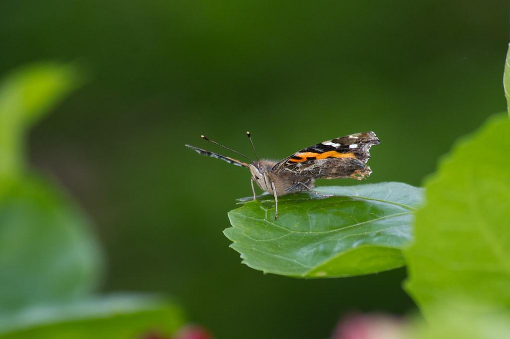 校園小蛺蝶