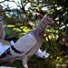 Un piccione arrabbiato by Jacopo Photo