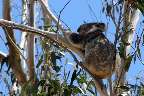 IMG 4918 Koala