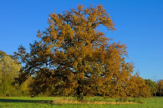 Chêne pédonculé - Quercus Robur