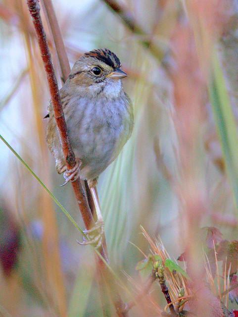 Swamp Sparrow PICASA 2-20131204