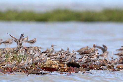 過境季節,各處海岸常有成群壯觀的鳥類成群棲息。圖中主要為黃足鷸。