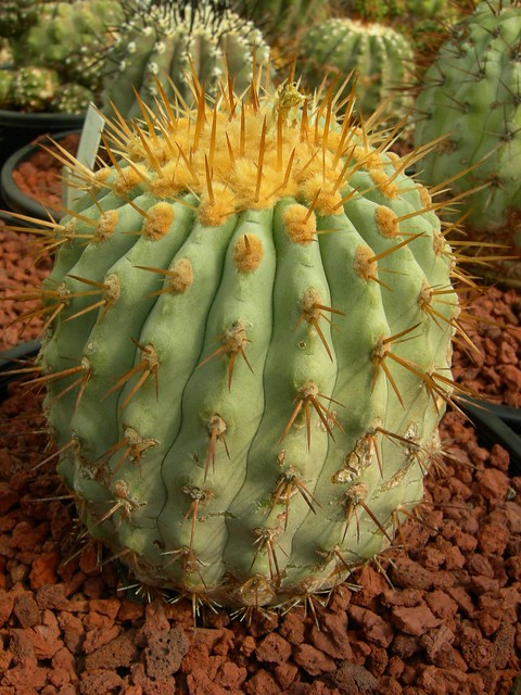 Copiapoa in cultivation 11739512253_4dbb9c831c_z