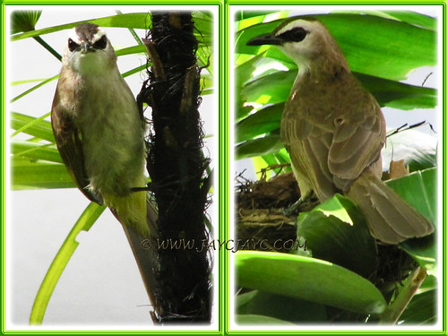 Pycnonotus goiavier (Yellow-vented Bulbuls), nesting on our potted Macarthur Palm, at the backyard