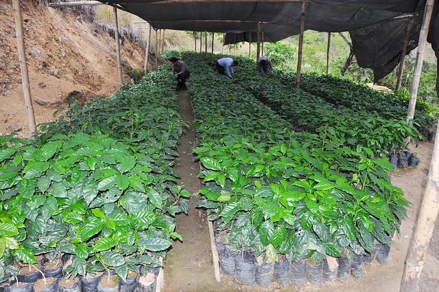 50 vivero plantas de caf flickr photo sharing for Vivero de cafe pdf