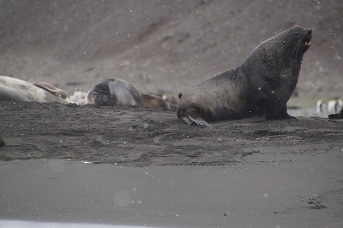 087 Zeeberen en zeeolifanten