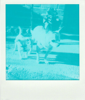 two chihuahuas in cyanotype film